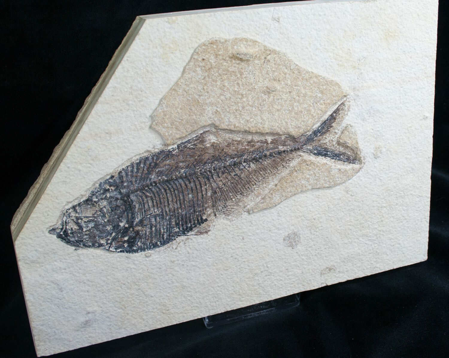 6 7 diplomystus fossil fish wyoming for sale 8024 for Fish fossils for sale