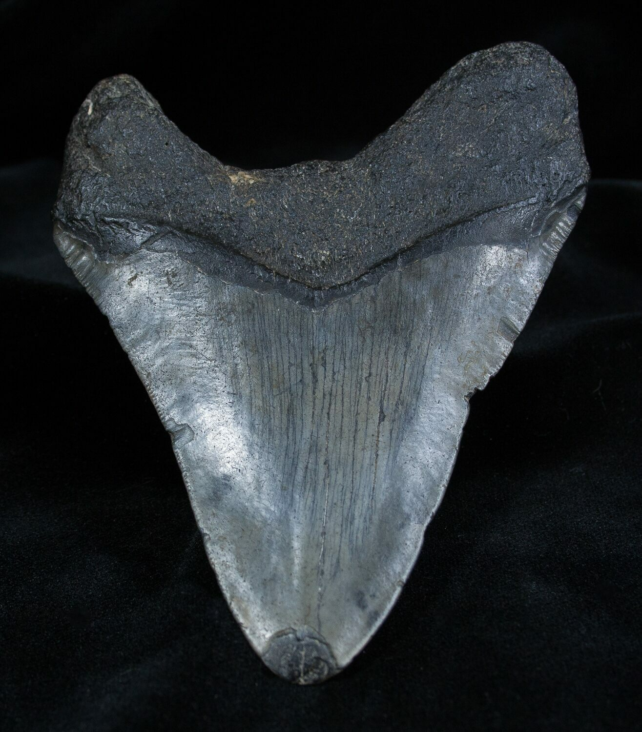 5 01 Inch Georgia Megalodon Tooth For Sale 1360