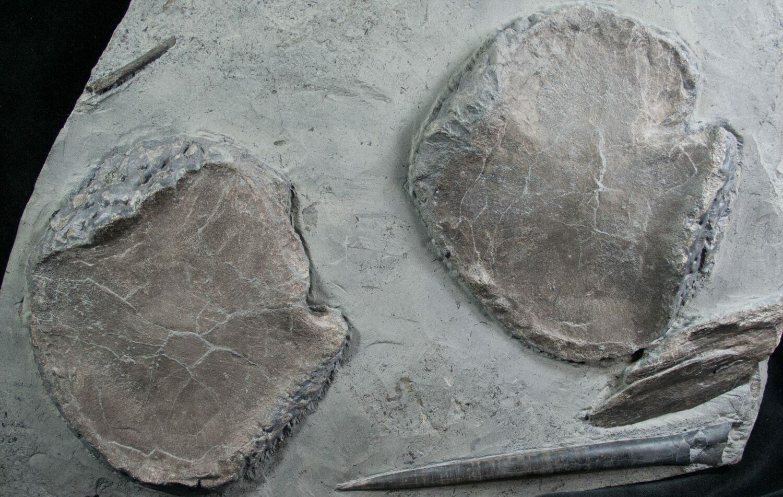 ichthyosaur fossil - photo #20