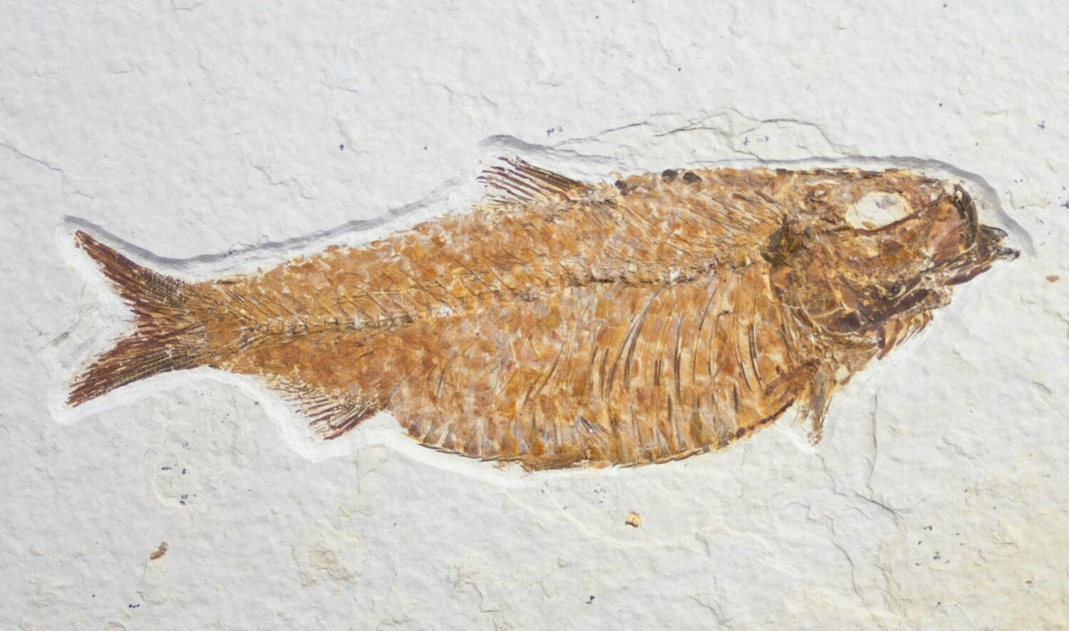 Fat knightia alta fish fossil wyoming for sale 8777 for Fish fossils for sale