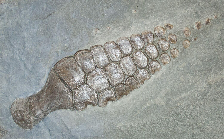 ichthyosaur fossil - photo #19