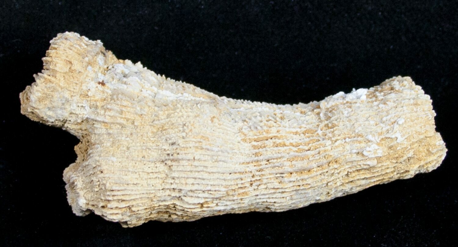 Colonial coral fossil