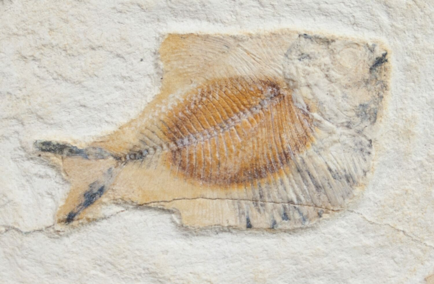 1 7 pycnodontiform fish fossil morocco for sale 9833 for Fish fossils for sale