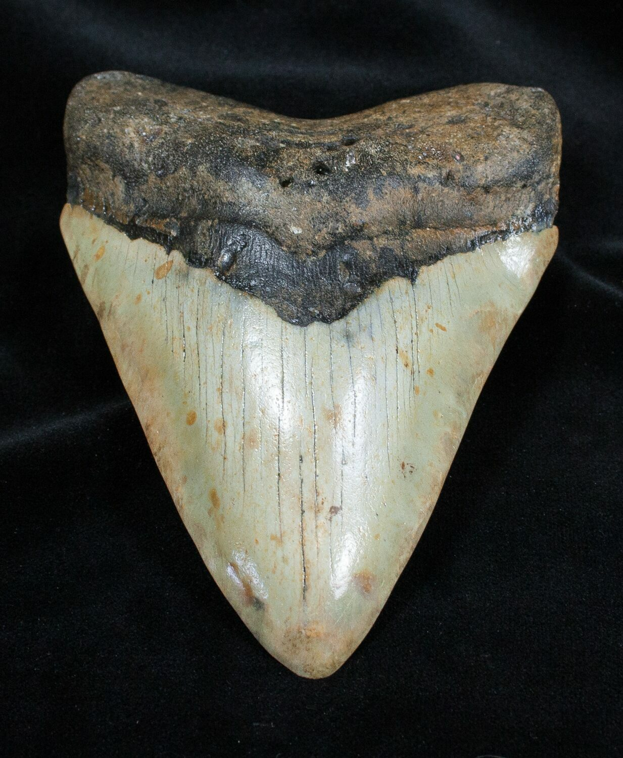 Beautiful 5.18 Inch Megalodon Tooth For Sale (#1668