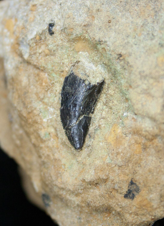 .54 Inch Allosaurus Tooth In Matrix - Dana Quarry For Sale ...