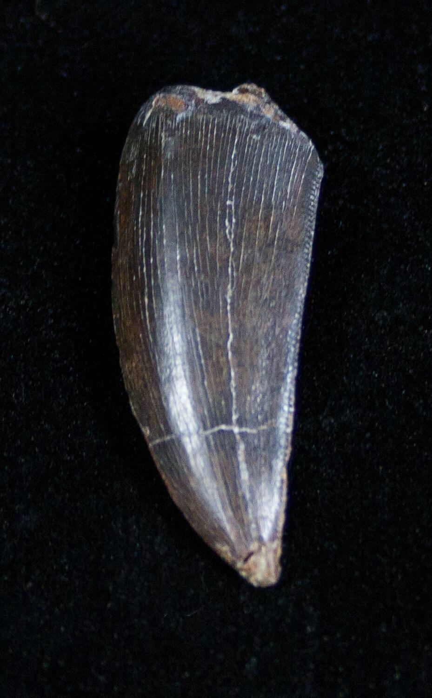 Very Rare Ceratosaurus Tooth - Dana Quarry For Sale (#1683 ...