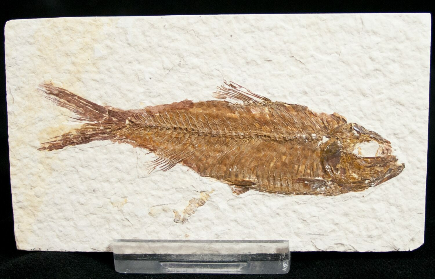 3 2 knightia fossil fish wyoming for sale 10908 for Fish fossils for sale
