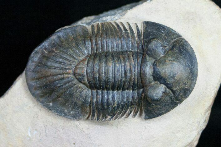 2 05 Quot Metascutellum Trilobite Spectacular Example For