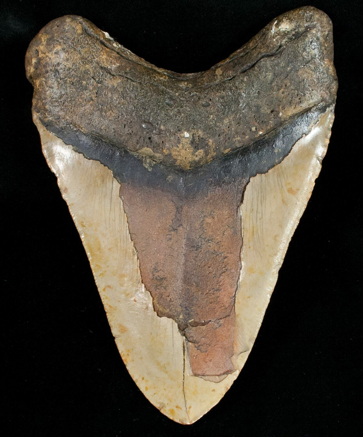 """Giant 5.64"""" Megalodon Tooth"""