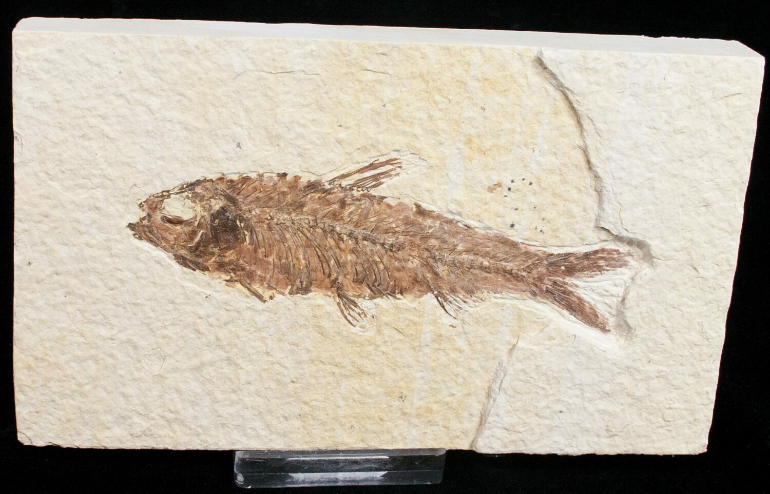 3 5 knightia fossil fish wyoming for sale 11721 for Fish fossils for sale