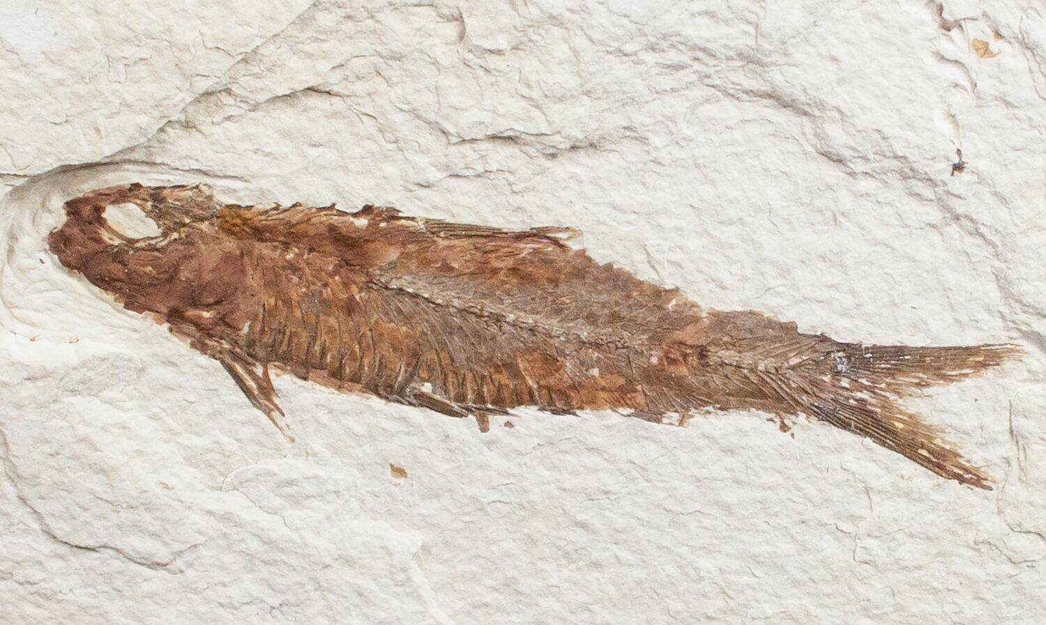 3 3 knightia fossil fish wyoming for sale 11732 for Fish fossils for sale