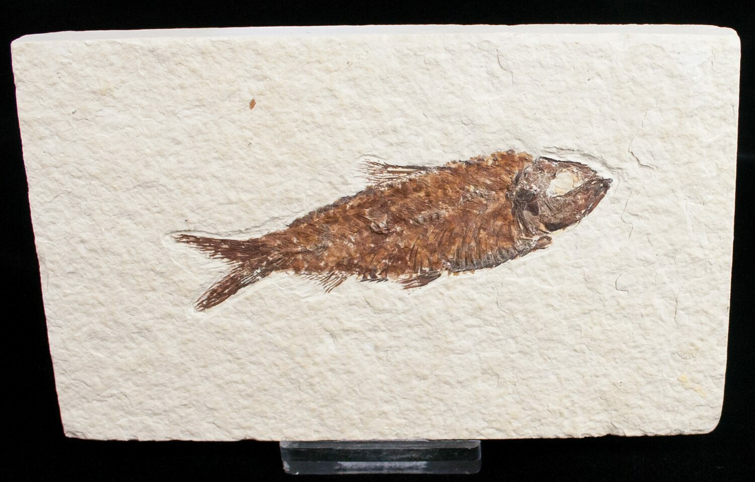 3 2 knightia fossil fish wyoming for sale 11740 for Fish fossils for sale