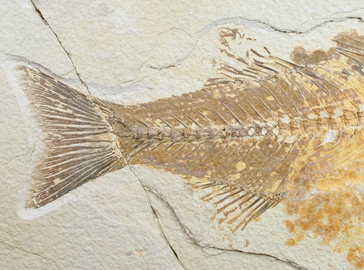 Bargain 10 mioplosus fossil fish wyoming for sale for Fish fossils for sale