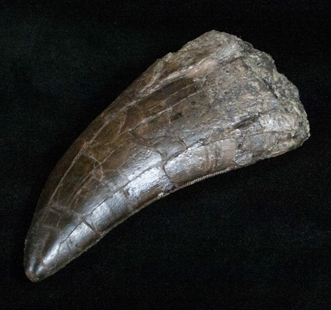 """Extremely Rare 3.5"""" Torvosaurus Tooth - Skull Creek For ..."""