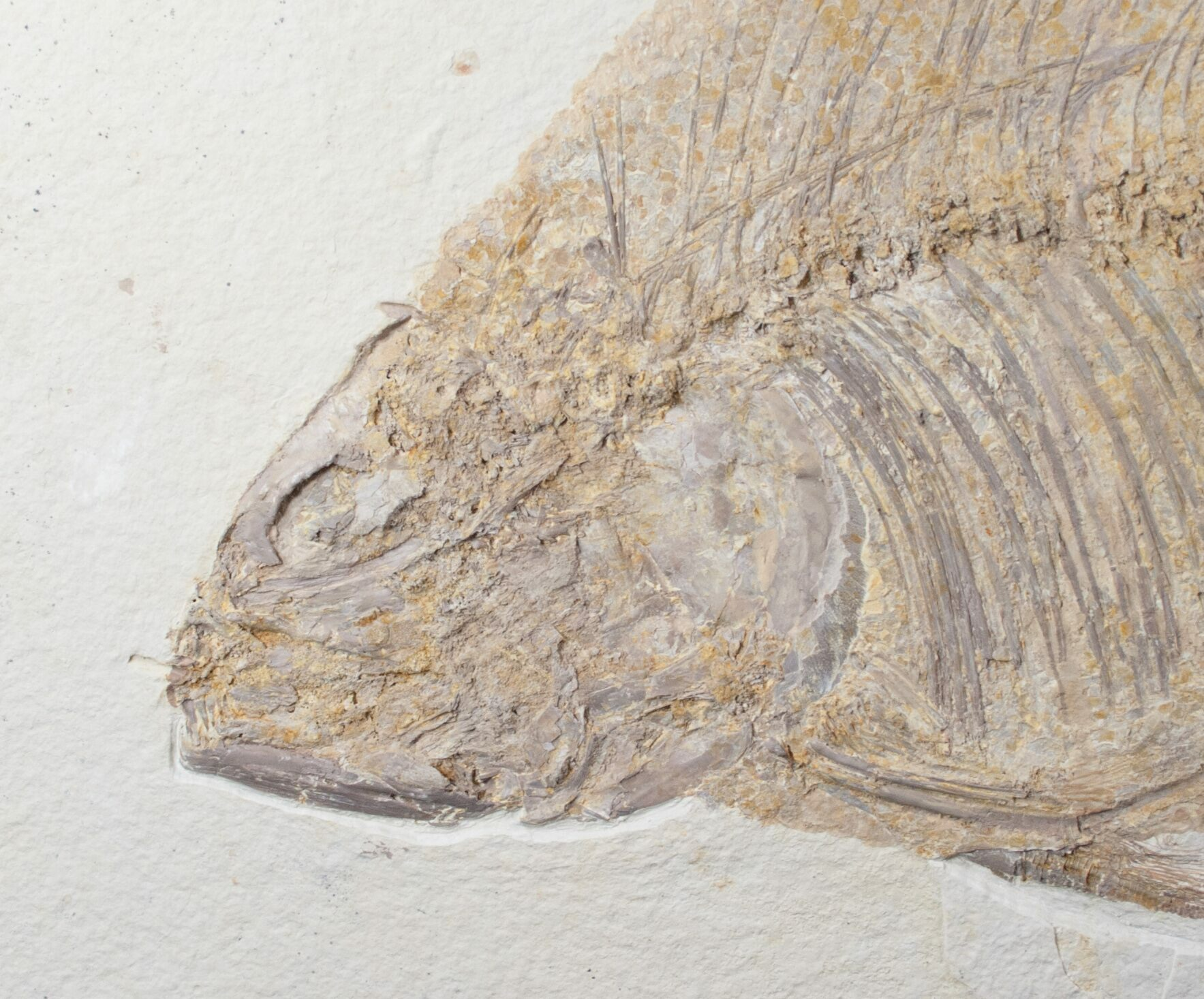 Large 14 5 phareodus fish fossil wyoming for sale for Fish fossils for sale