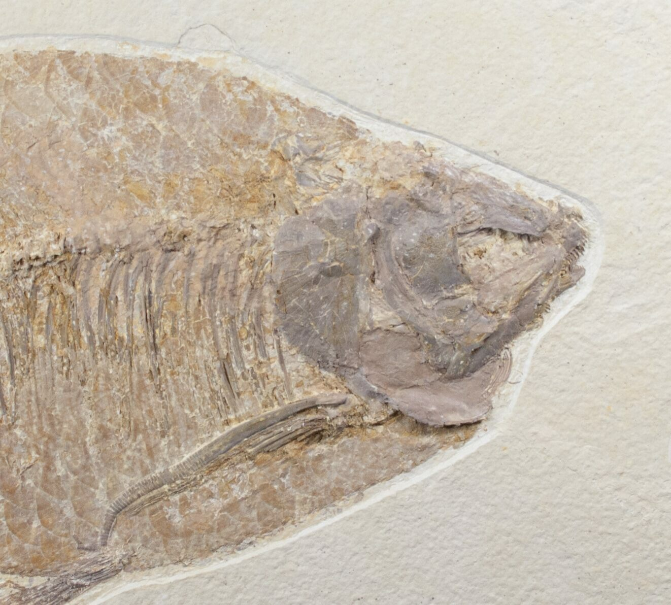 Superb 12 5 phareodus fish fossil wyoming for sale for Fish fossils for sale