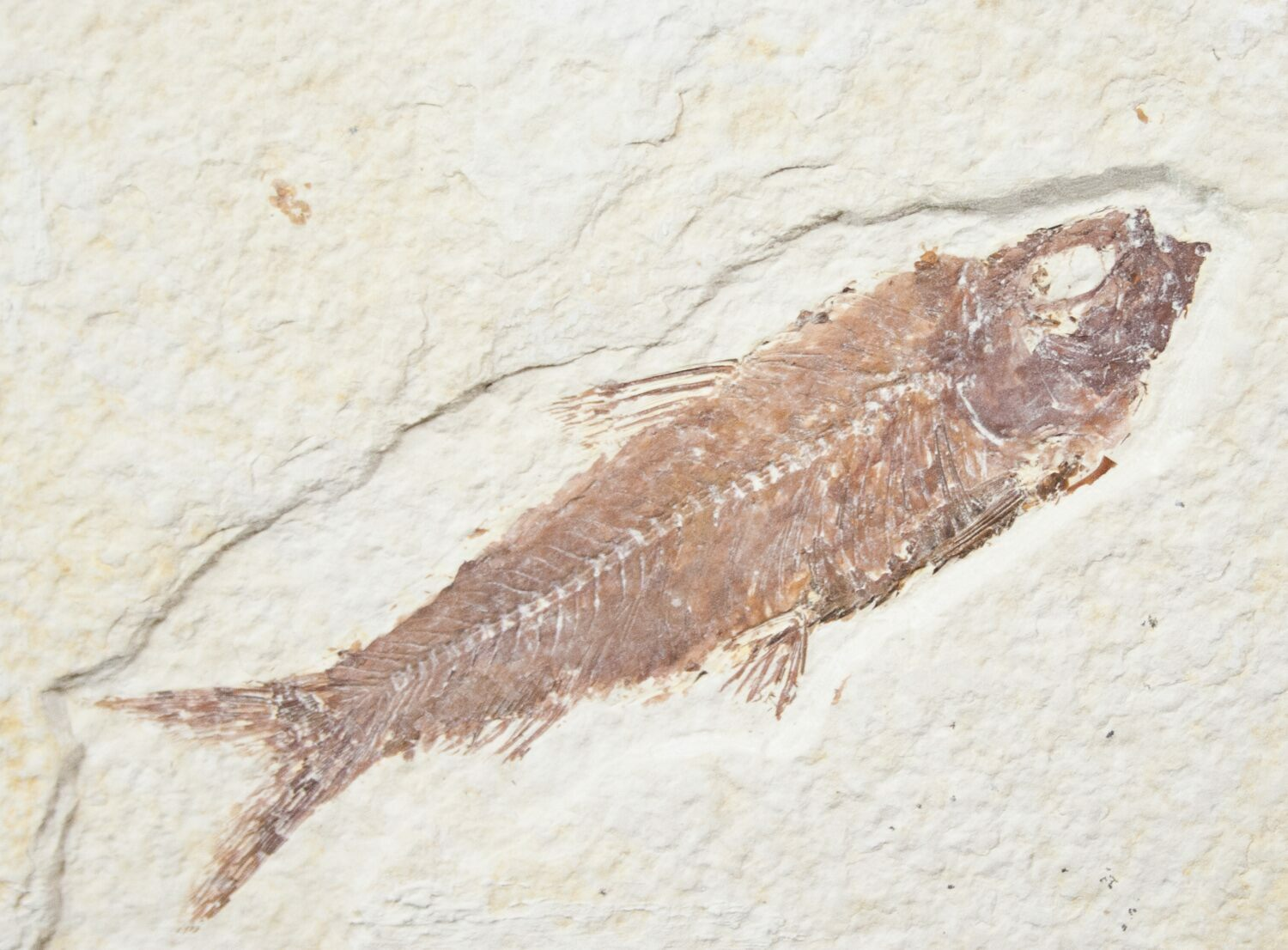 3 3 knightia fossil fish wyoming for sale 13344 for Fish fossils for sale