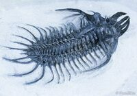 Buy trilobite fossils from FossilEra
