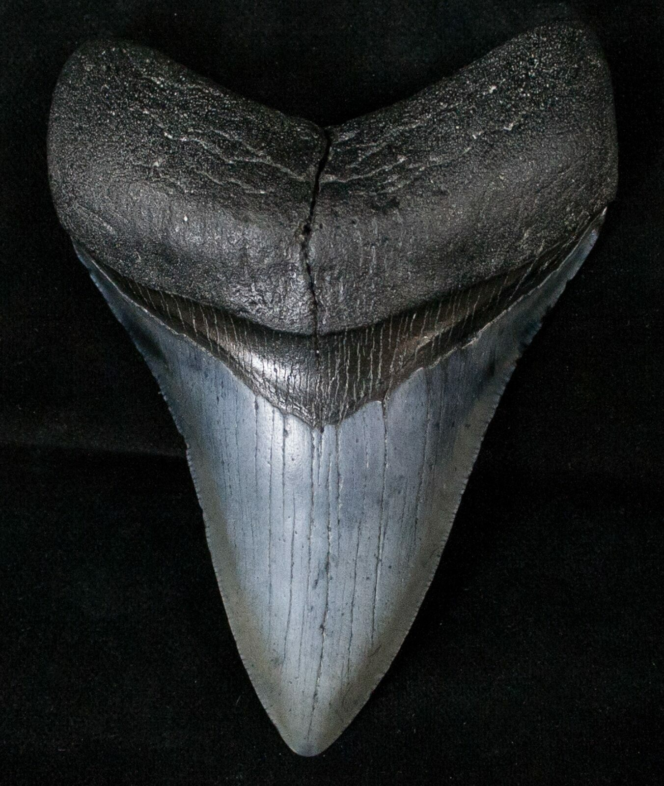 how to find shark teeth in venice