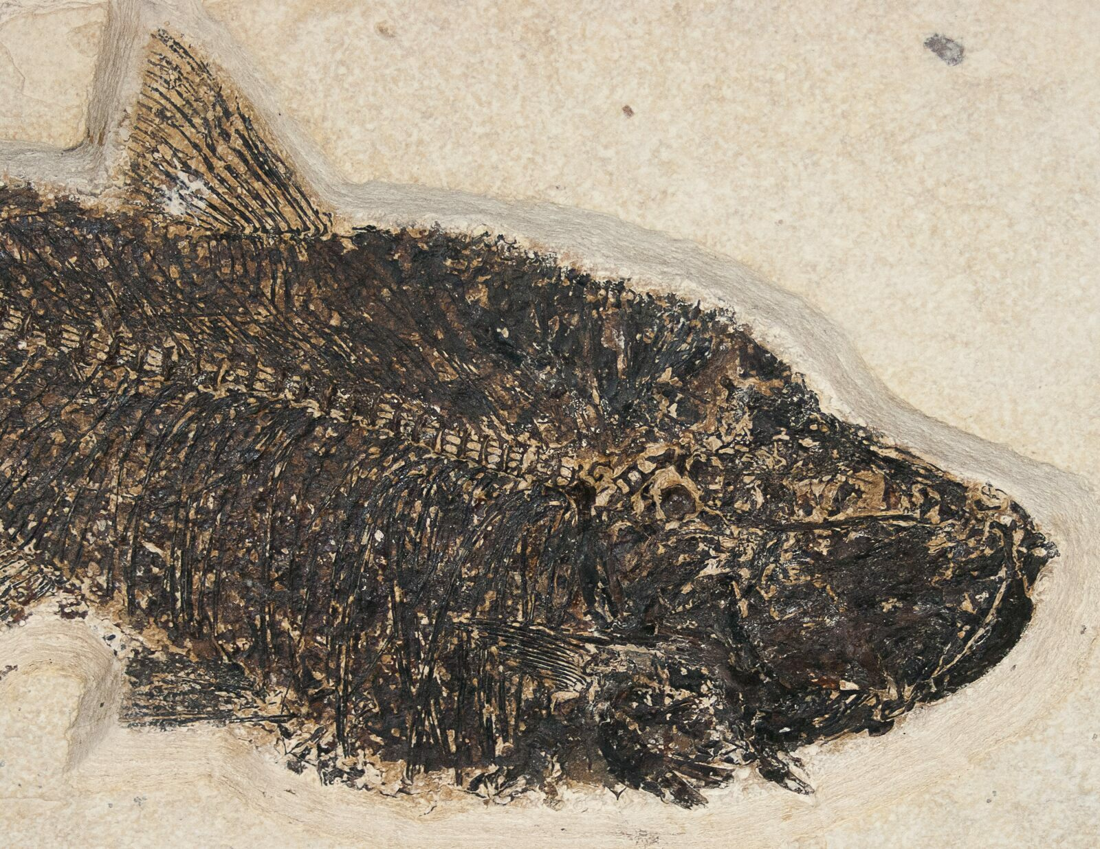 16 5 8 5 diplomystus fish fossil wyoming free for Fish fossils for sale