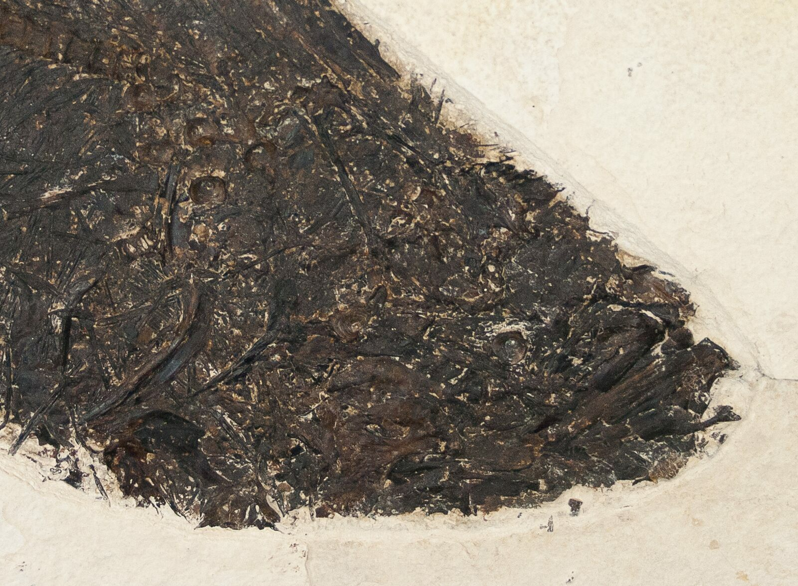 19 5 diplomystus fish fossil wyoming for sale 15135 for Fish fossils for sale