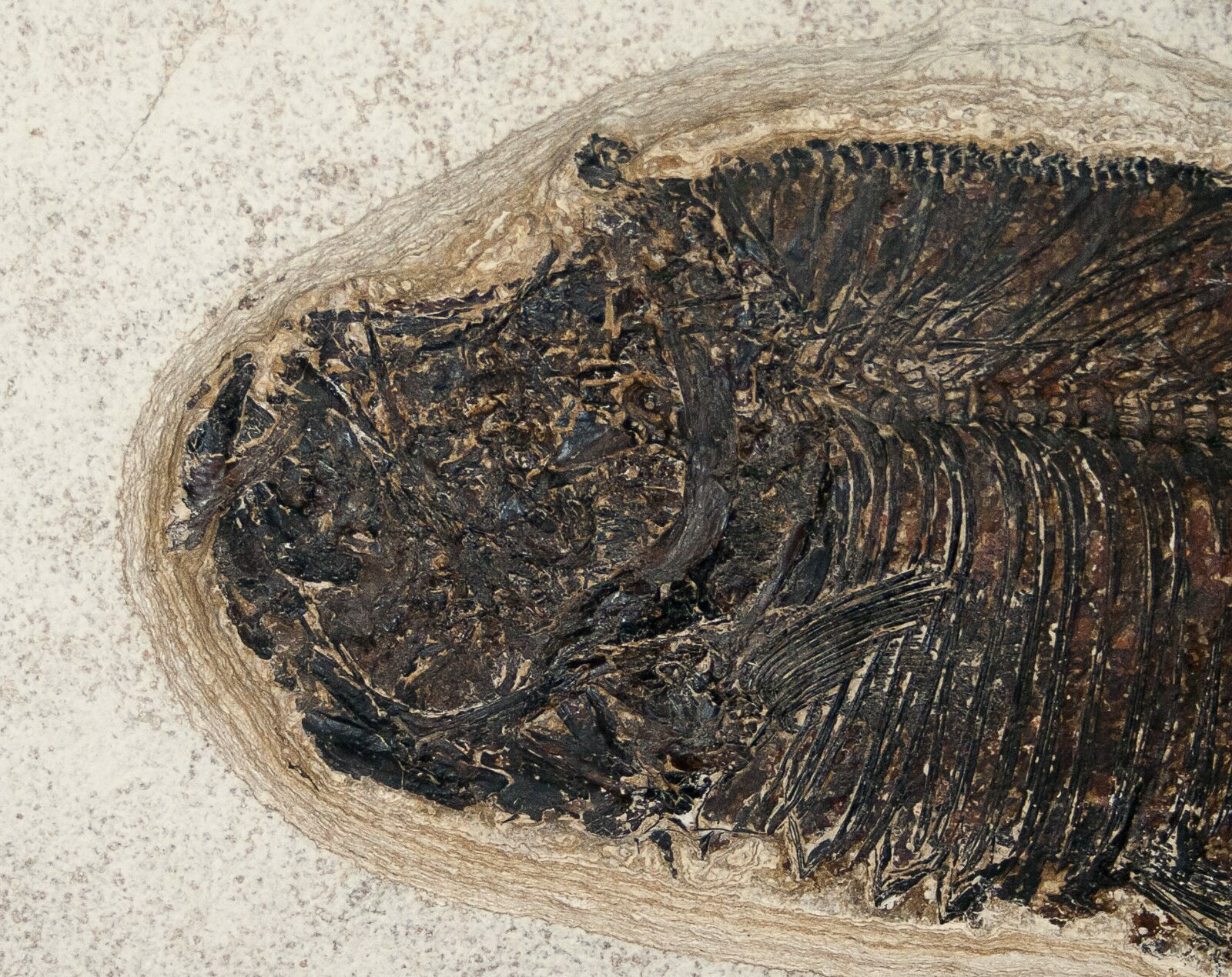 15 diplomystus fish fossil wyoming for sale 15126 for Fish fossils for sale