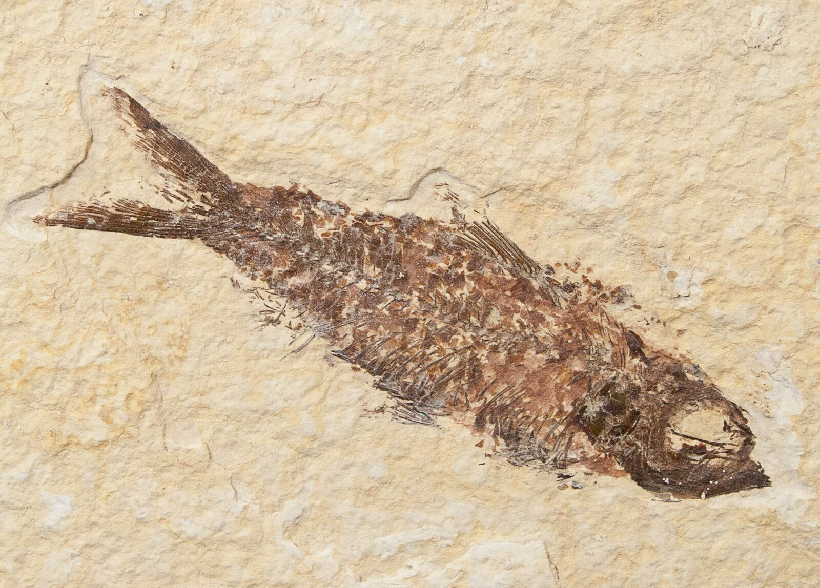 Bargain 2 8 knightia fossil fish wyoming for sale for Fish fossils for sale