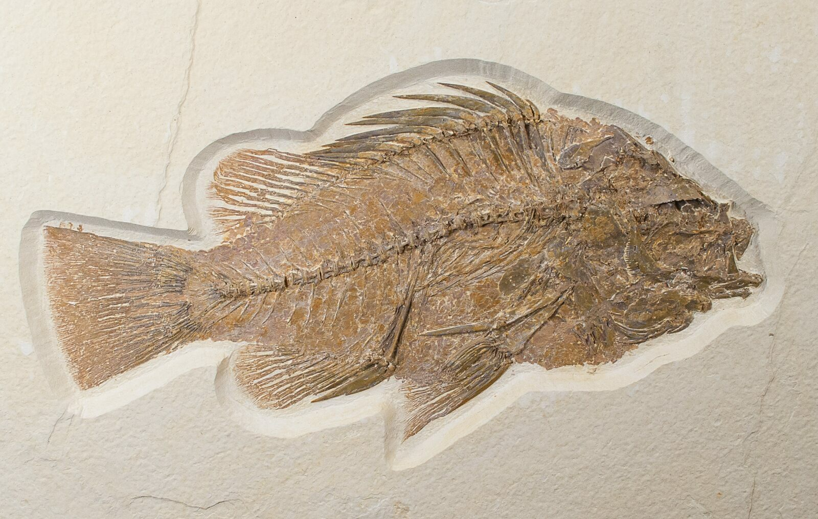 Large 8 4 priscacara fossil fish wyoming for sale for Fish fossils for sale
