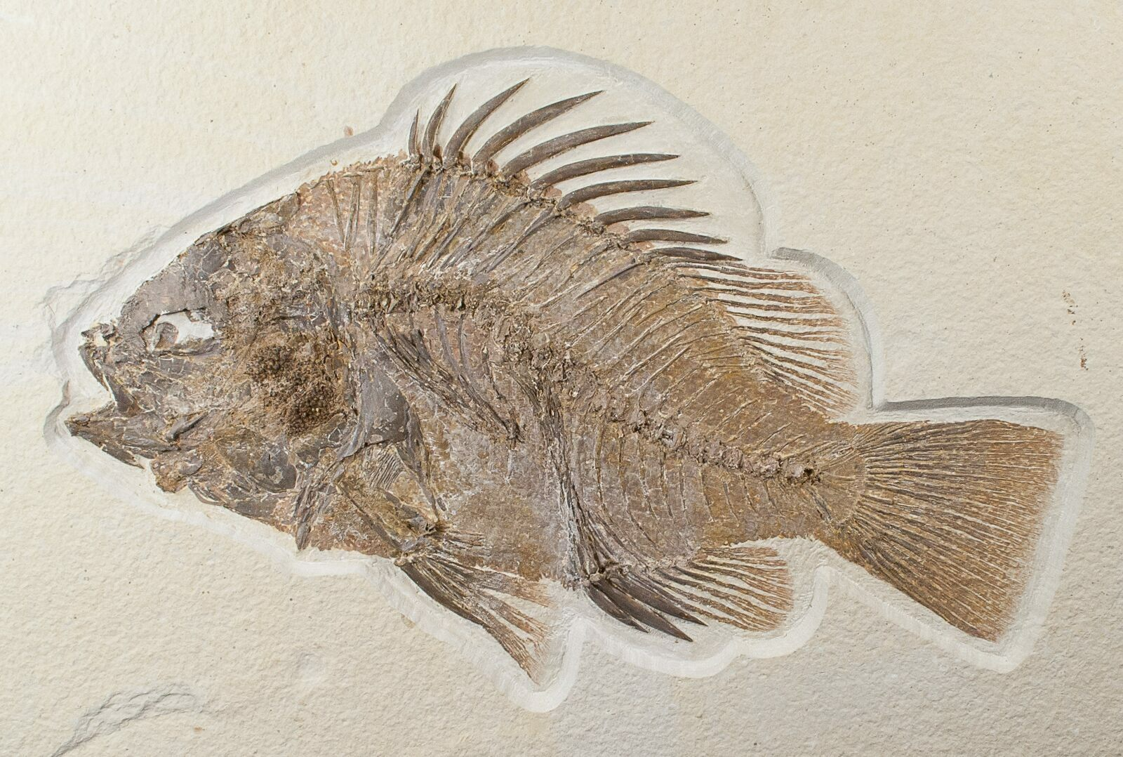 Top quality 10 priscacara serrata for sale 15578 for Fish fossils for sale