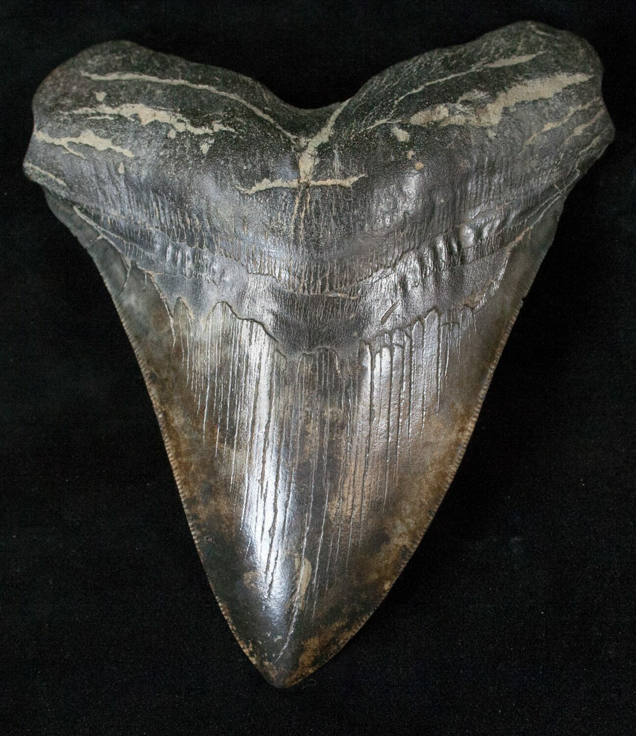 """Giant 5.57"""" Megalodon Tooth"""