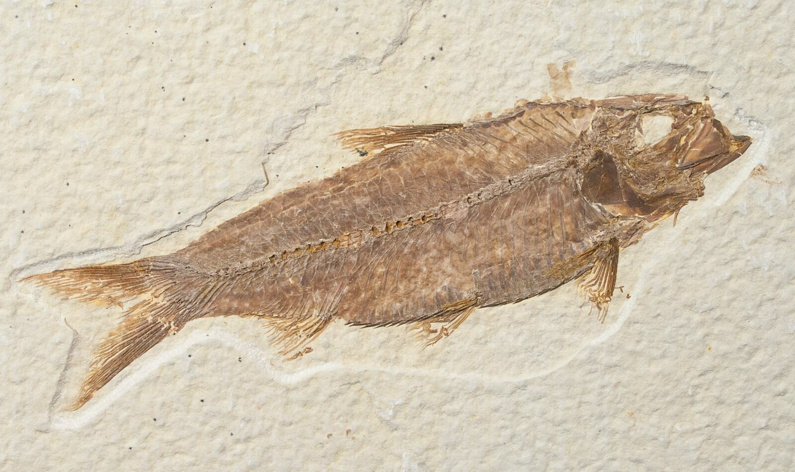 3 7 knightia fossil fish wyoming for sale 15972 for Fish fossils for sale