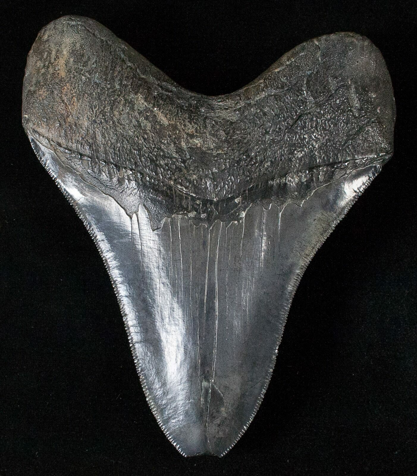 Megalodon Tooth Display Image Mag