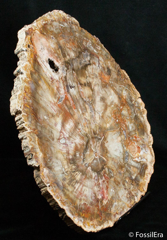 Large 13 Inch Petrified Wood Slab Madagascar For Sale