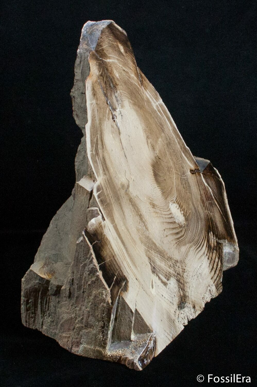 Large Free Standing Petrified Wood Mcdermitt Or For