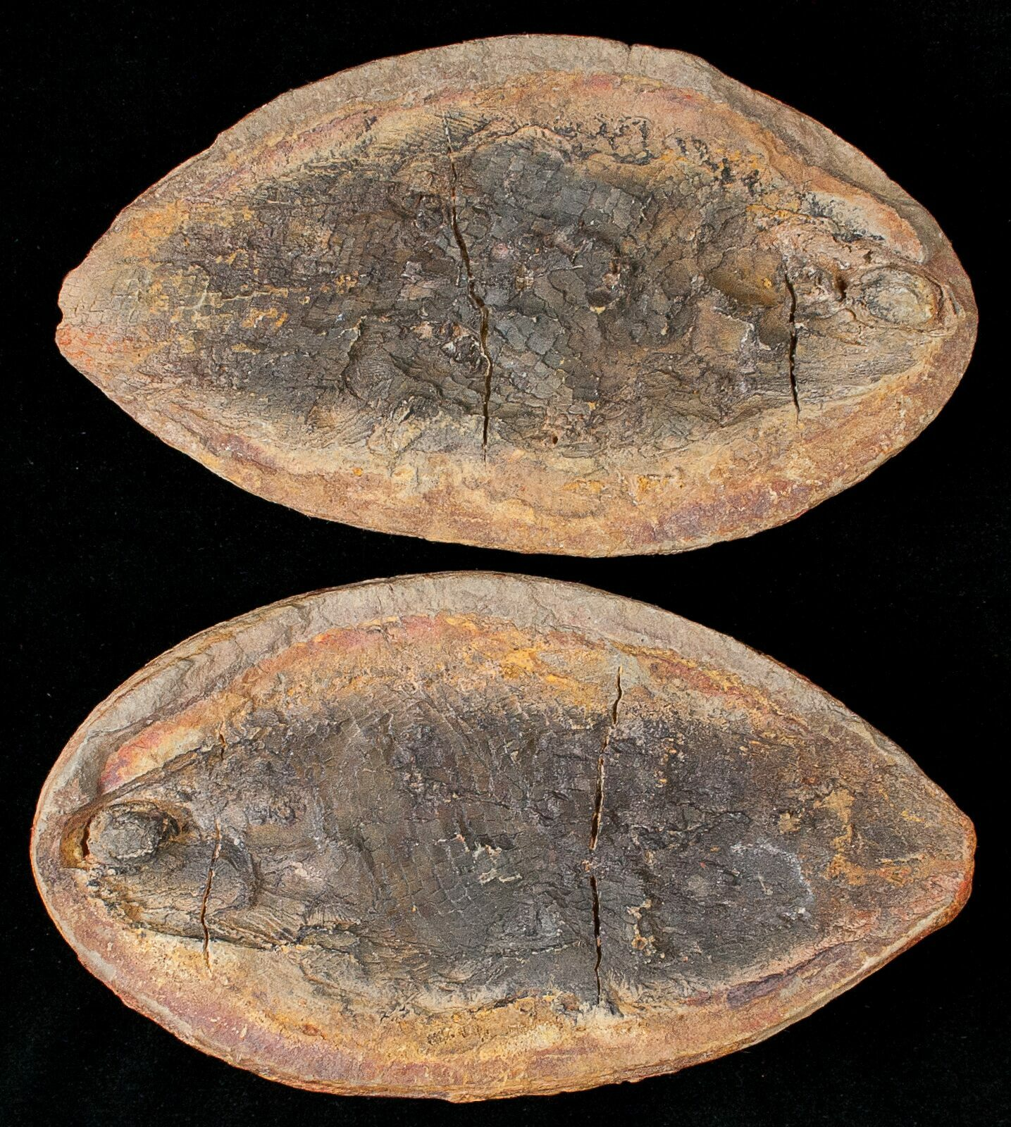 Madagascar fish fossils for sale for Fish fossils for sale