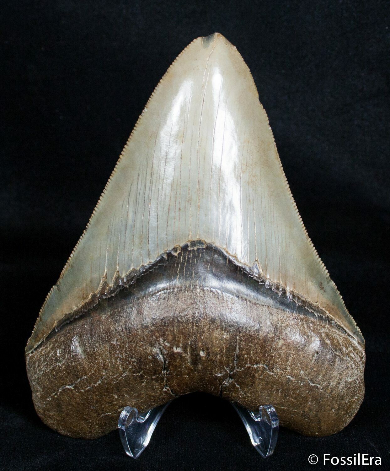 how to tell if a megalodon tooth is real