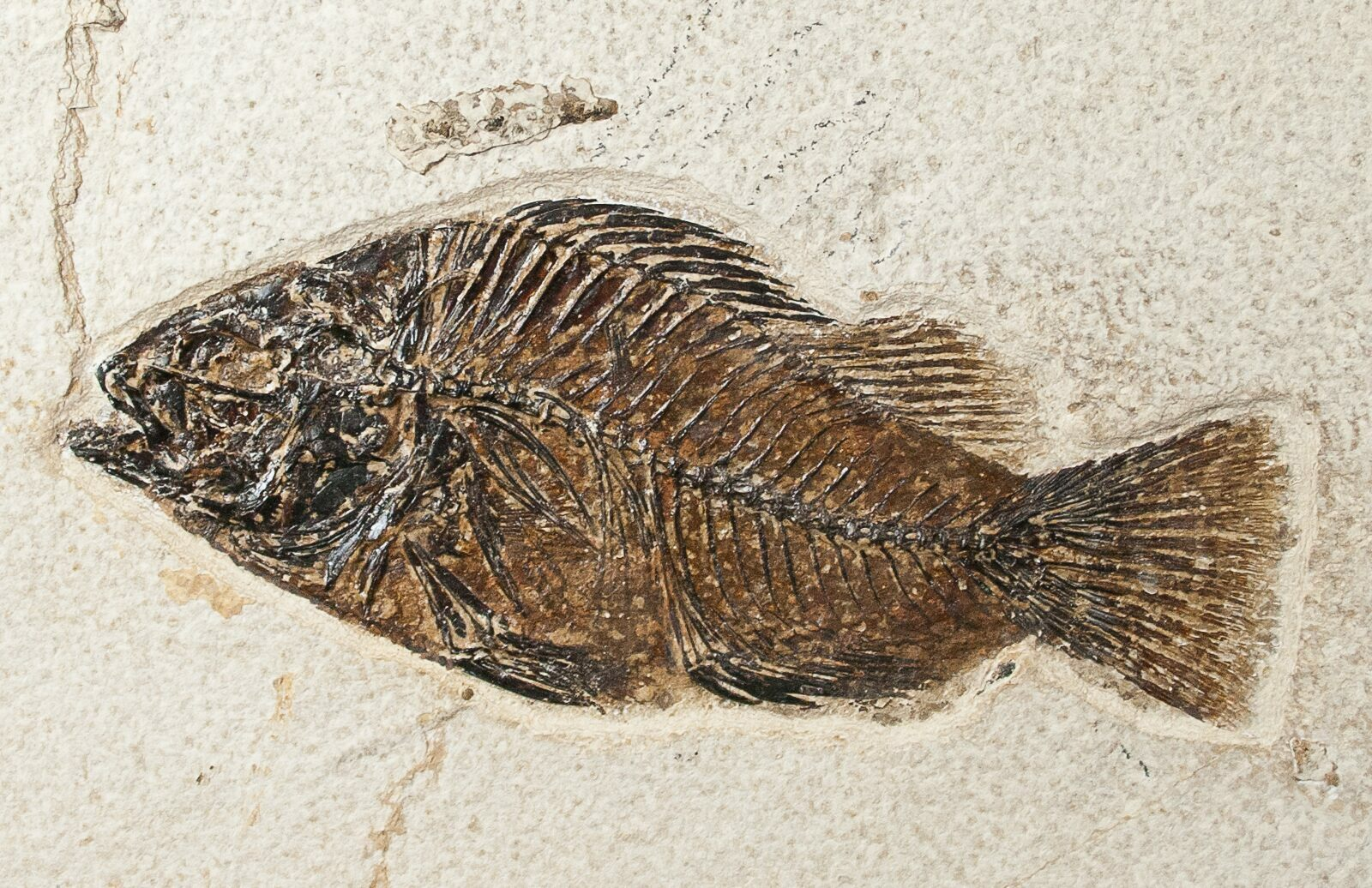 18x12 beautiful fossil fish plate priscacara for Fish fossils for sale