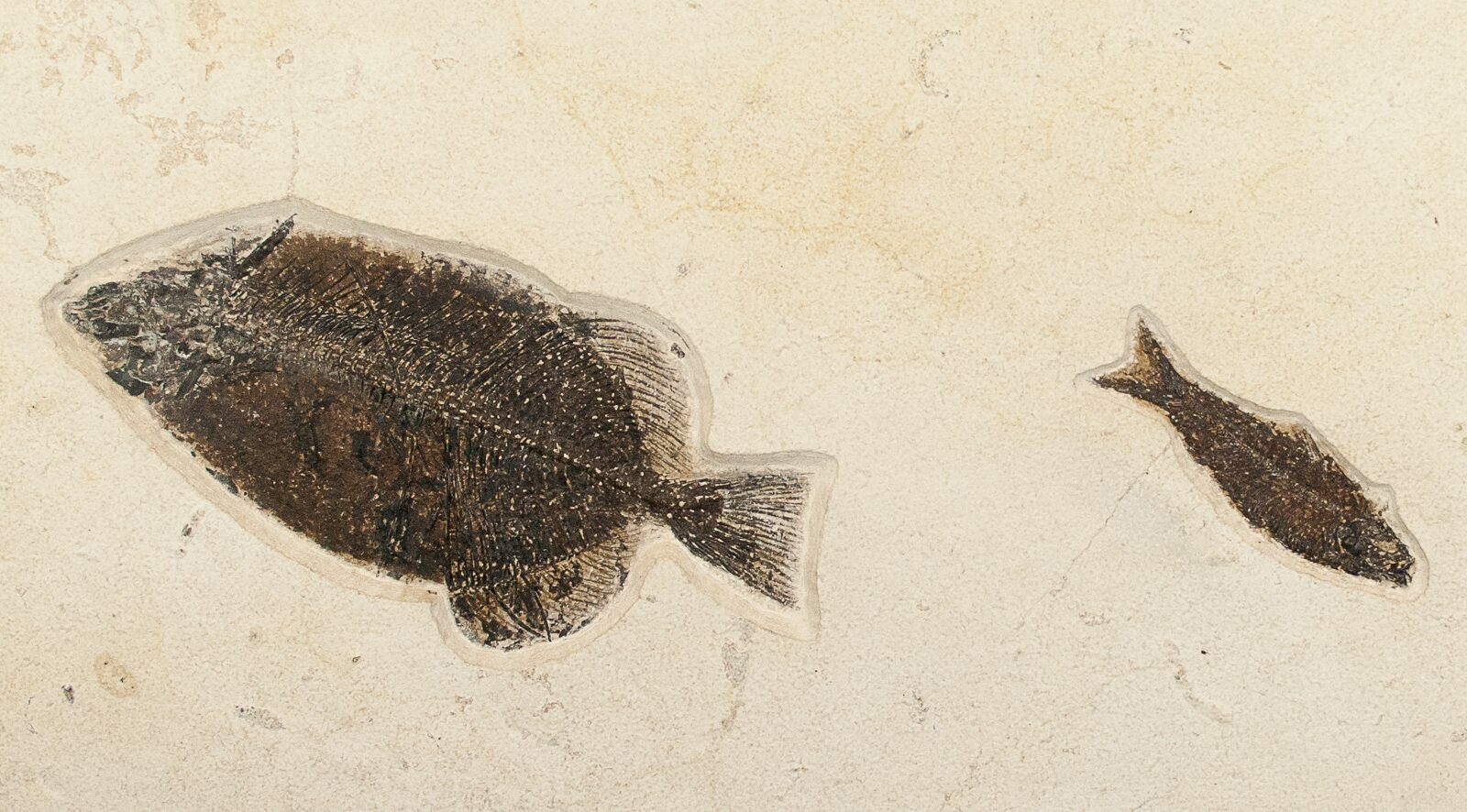 31x15 phareodus knightia fossil fish plate free for Fish fossils for sale