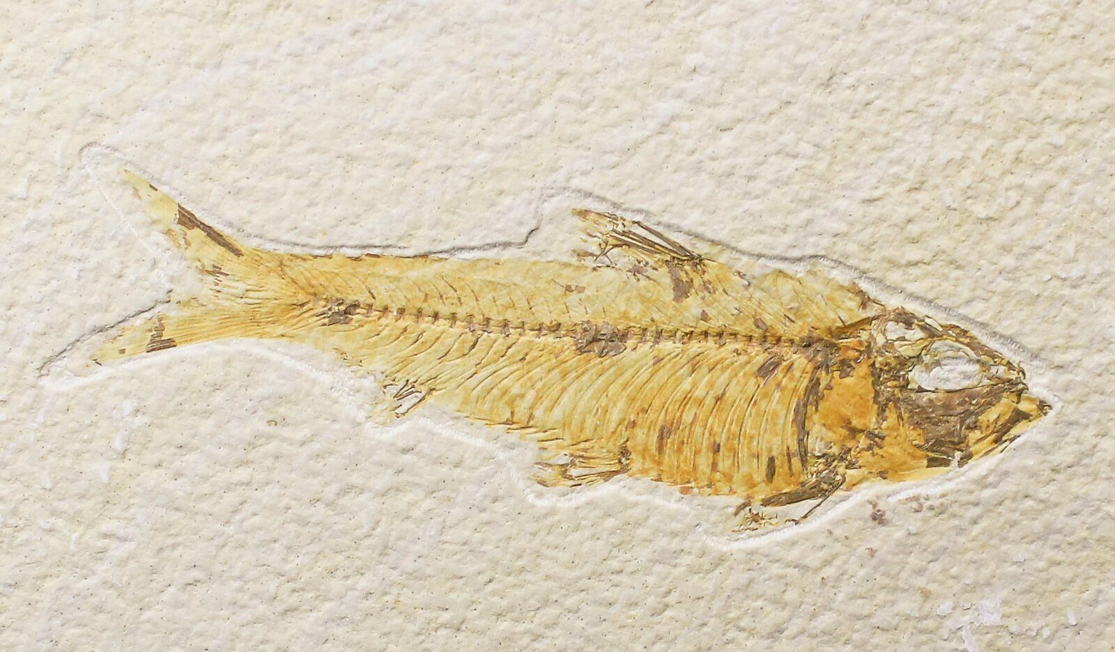 Bargain 4 4 knightia fossil fish wyoming for sale for Fish fossils for sale