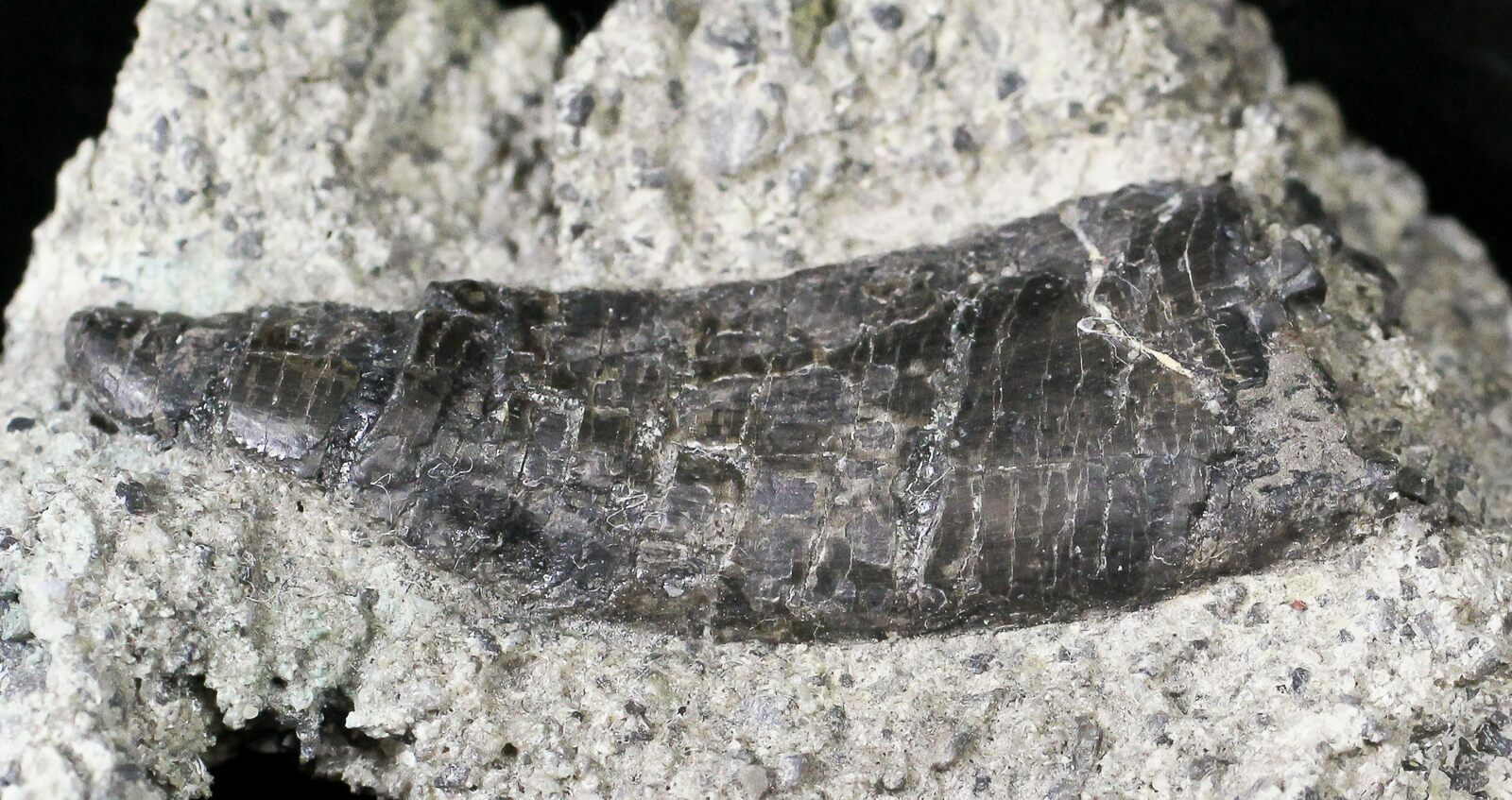 """1.66"""" Indeterminate Theropod Tooth In Matrix - Skull Creek ..."""