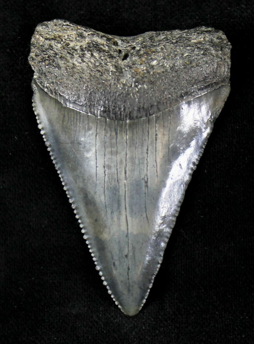 """Serrated Fossil Great White Shark Tooth - 2.32"""" For Sale ... Carcharodon Carcharias Teeth"""