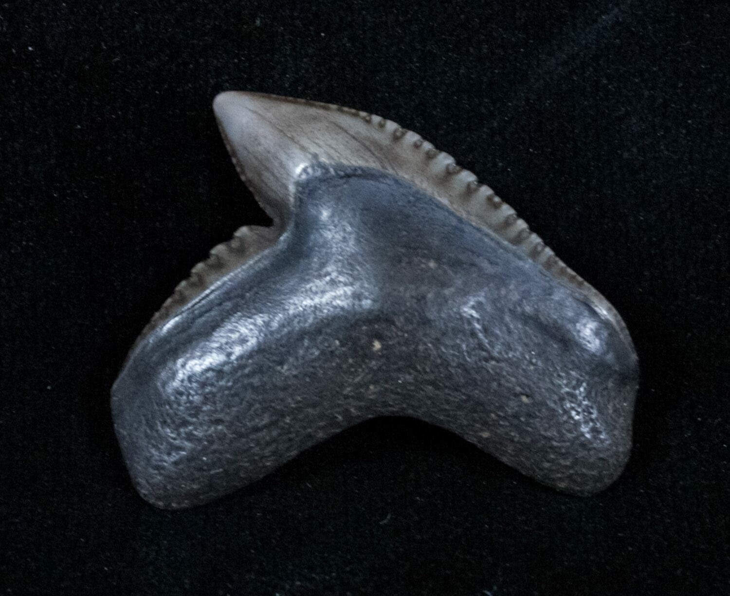 Prehistoric shark fossils - photo#22