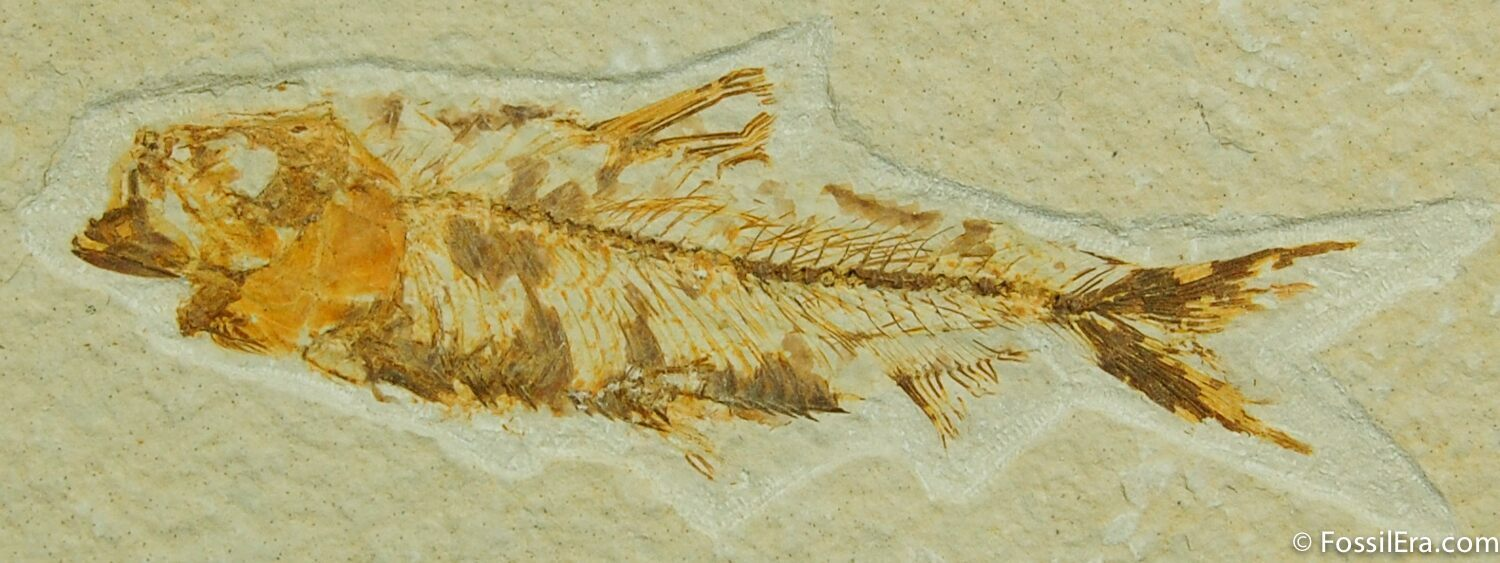 Complete green river knightia fish fossil for sale 21 for Fish fossils for sale