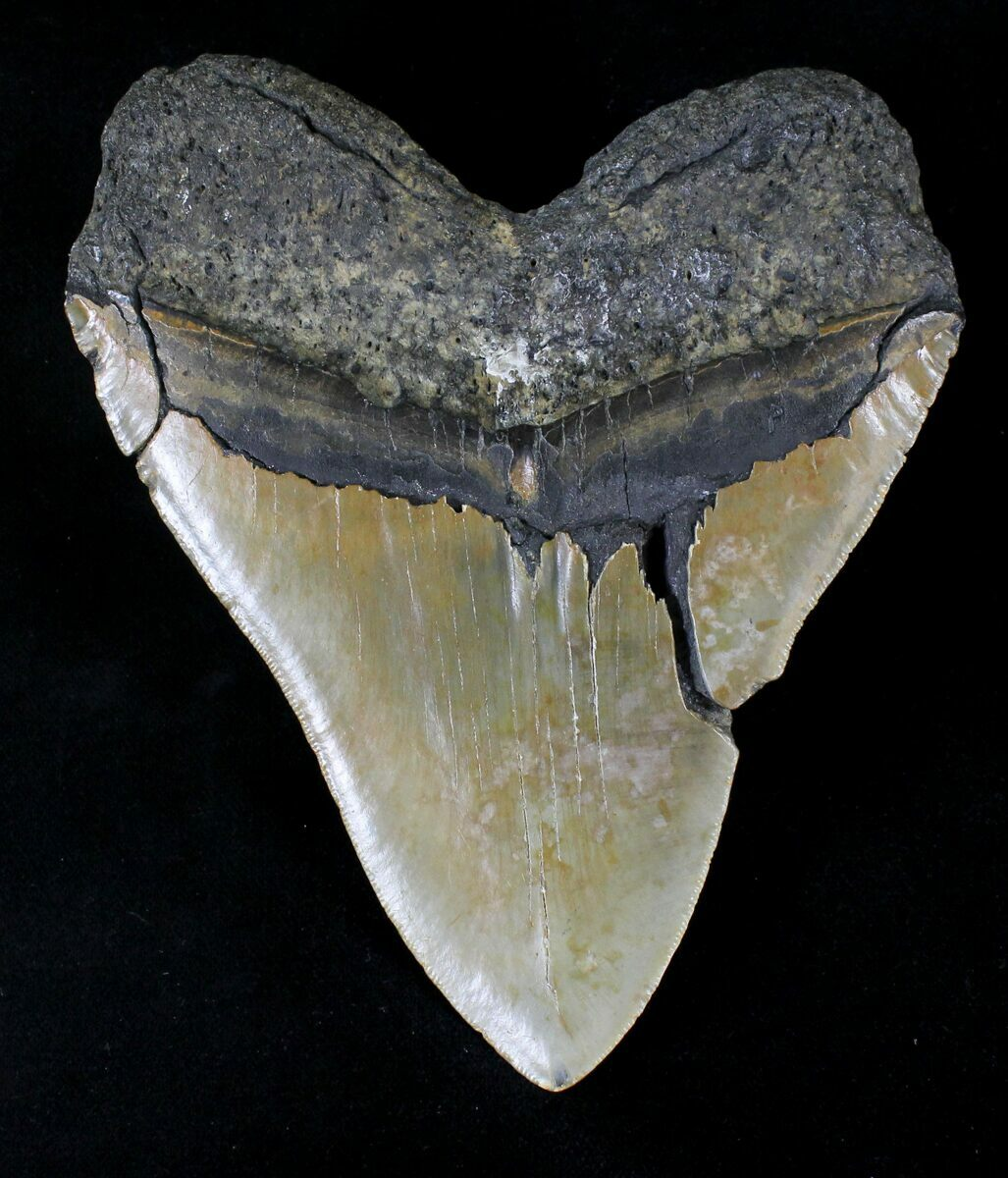 Large 5 43 Quot Megalodon Tooth North Carolina For Sale