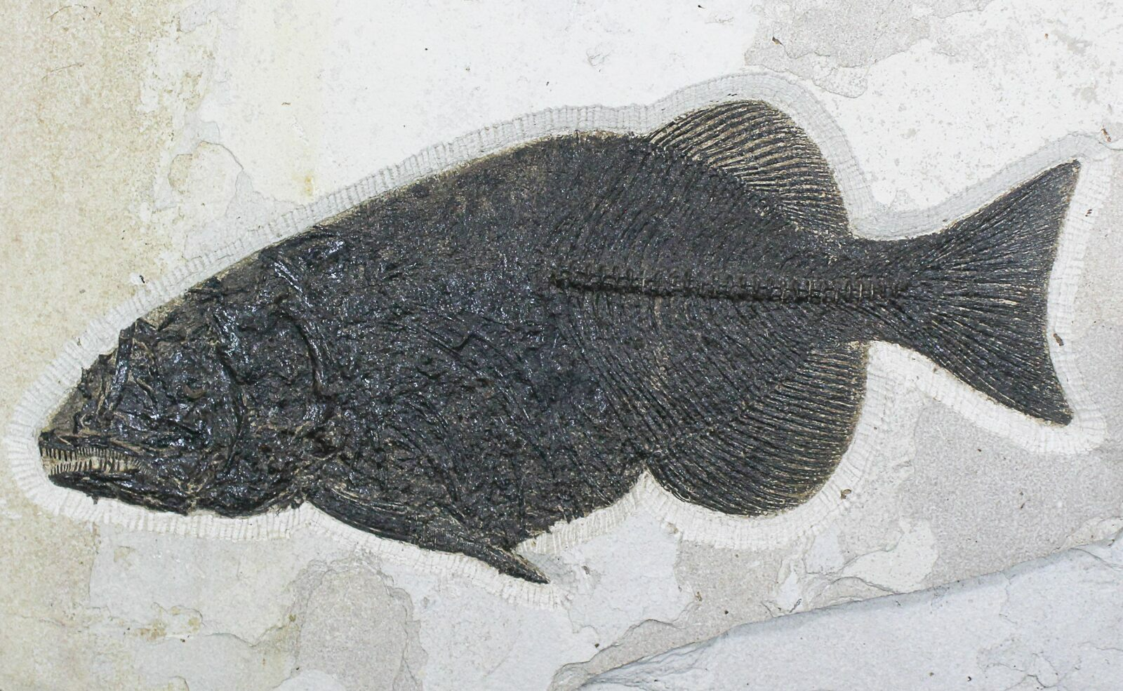 Large 20 phareodus fossil fish reduced price for sale for Fish fossils for sale