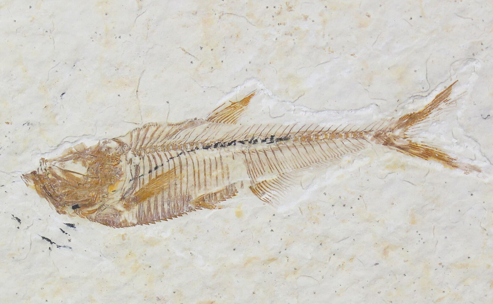 1 9 diplomystus fossil fish wyoming for sale 22319 for Fish fossils for sale