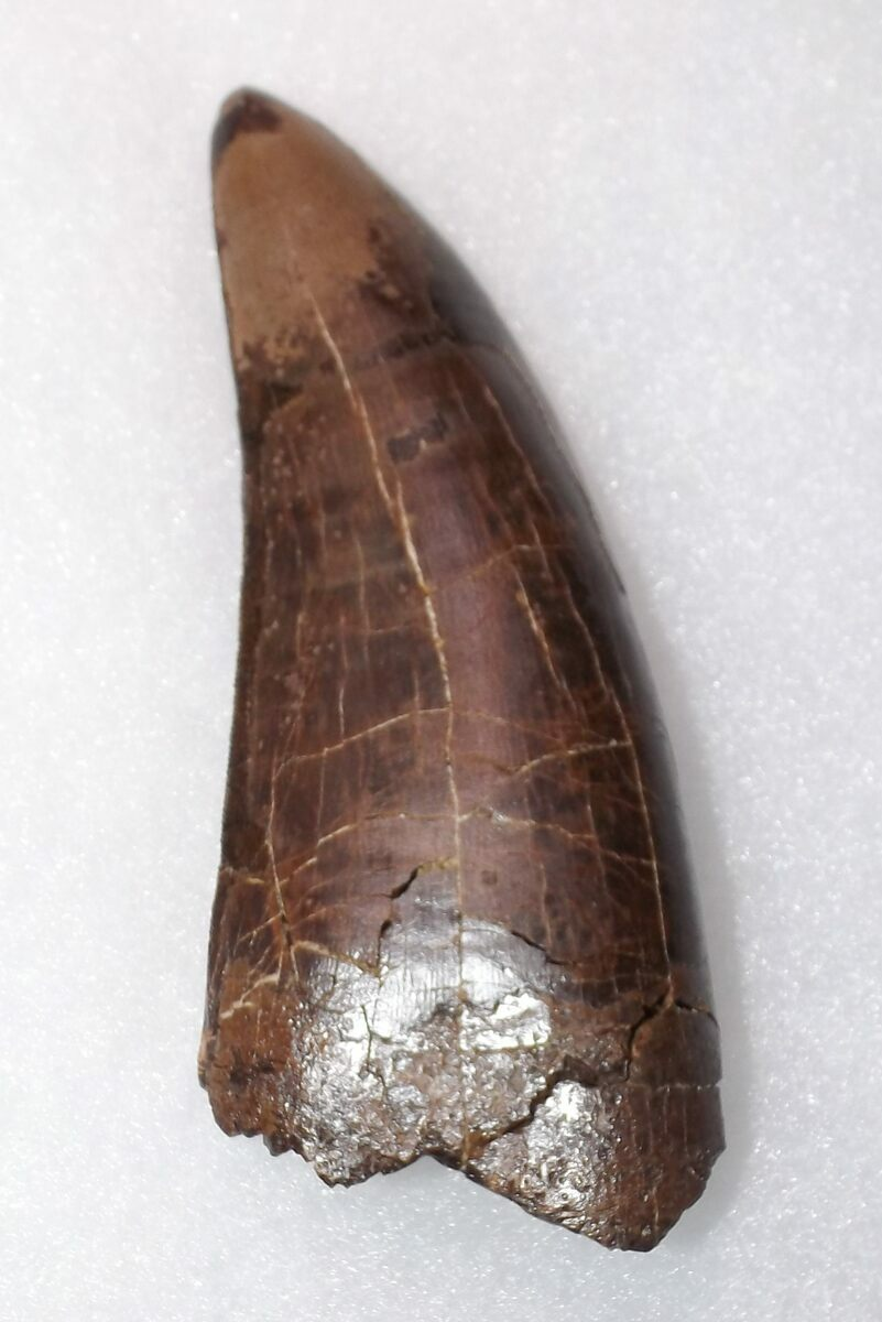 """Monster 4.25"""" T-Rex Tooth - Exceptional Condition For Sale ..."""